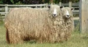 lincoln-sheep
