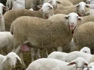 manchega-sheep