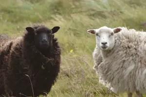 shetland-sheep