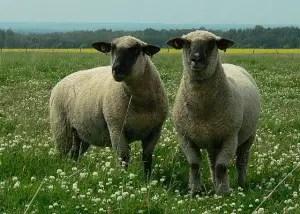 shropshire-sheep