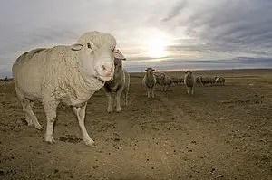 targhee-sheep