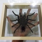 REAL-GIANT-BIRD-EATING-TARANTULA-EURYPELMA-SPINICRUS-SPIDER-TAXIDERMY-BOXED-DISPLAY-By-Thai-Decorated-0-0