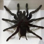 REAL-GIANT-BIRD-EATING-TARANTULA-EURYPELMA-SPINICRUS-SPIDER-TAXIDERMY-BOXED-DISPLAY-By-Thai-Decorated-0-1