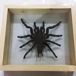 REAL-GIANT-BIRD-EATING-TARANTULA-EURYPELMA-SPINICRUS-SPIDER-TAXIDERMY-BOXED-DISPLAY-By-Thai-Decorated-0