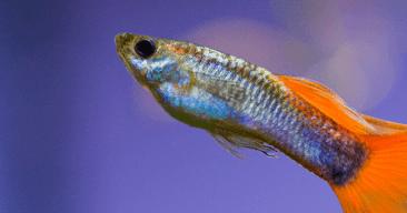¿Cada cuanto tiempo alimento a mis peces?