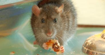 La alimentación de la rata doméstica
