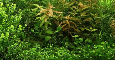Cómo mantener plantas naturales en el acuario