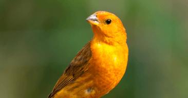 Cuidados básicos del canario en casa