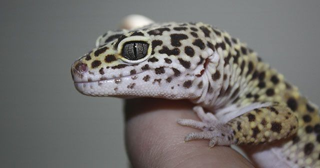 Cuales-son-los-geckos-mas-comunes-como-mascota