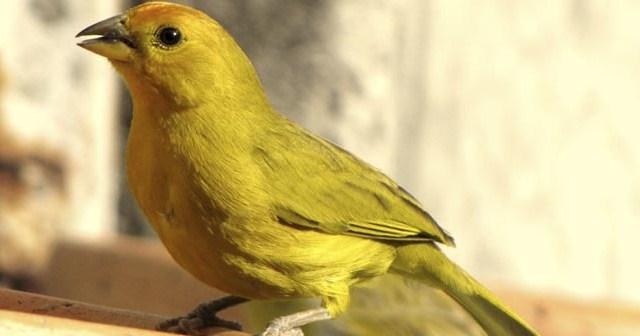 Consejos-para-mejorar-el-cant-de-los-canarios