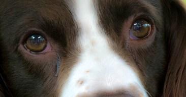 Consejos para limpiar los ojos a un perro