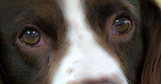 consejos-para-limpiar-los-ojos-a-un-perro