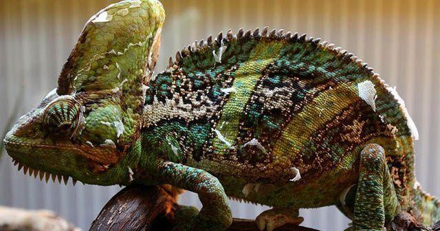 Cuidados-del-camaleon-de-Yemen