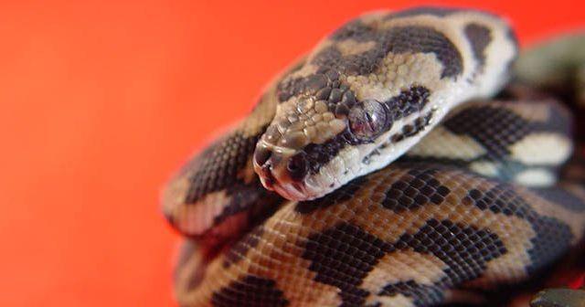 cómo-cuidar-a-una-serpiente-en-casa-sin-correr-riesgos