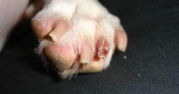 ¿Qué debo hacer si mi perro se lastima una uña?