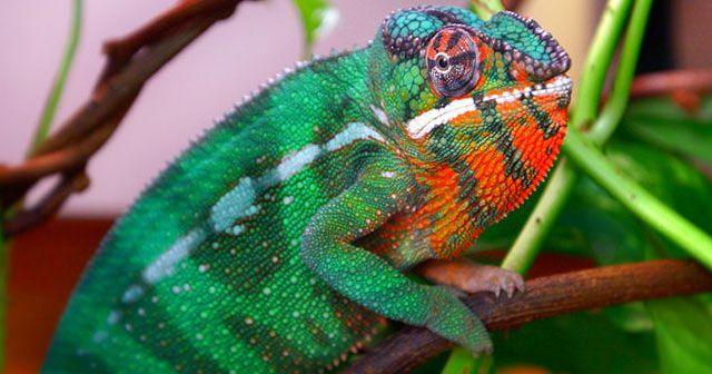 cómo-cambian-los-camaleones-de-color-hobby-macotas