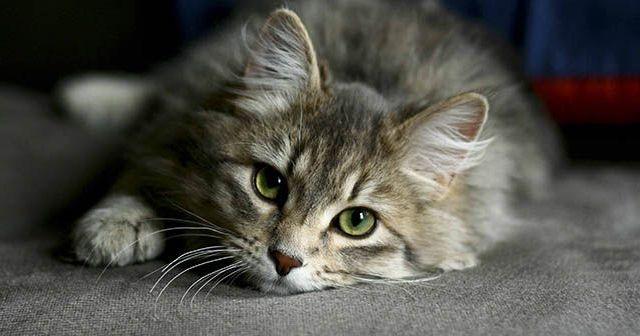 8-síntomas-de-alzheimer-en-gatos-hobby-mascotas