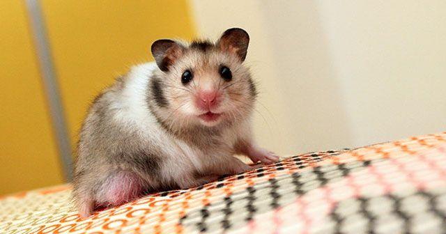 Por-que-estornuda-mi-hamster-hobby-mascotas