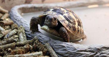 ¿Cómo puedo saber el sexo de una tortuga?