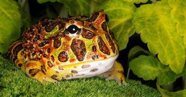 ¿La rana Pacman es una buena mascota?