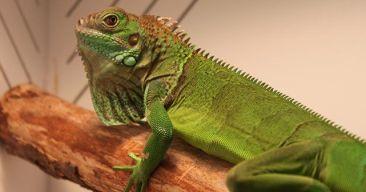 ¿Qué debo saber antes de tener una iguana?