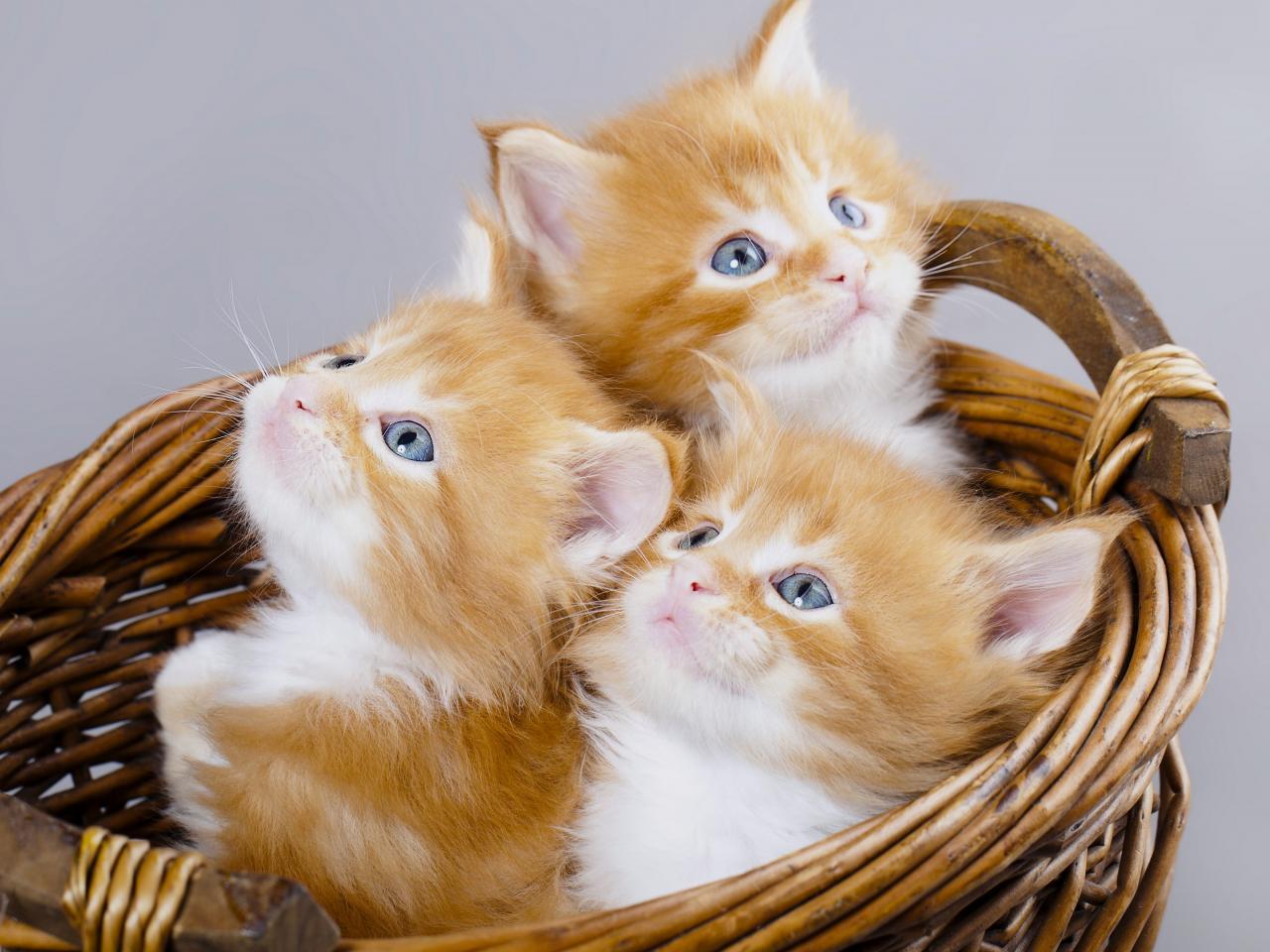Cute Puppies Image Wallpaper قطط رومي اجمل اشكال القطط الرومى الرائعة حبيبي