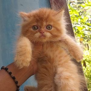 jual kucing sidoarjo 1