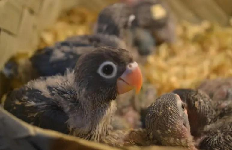 Gambar lovebird balibu