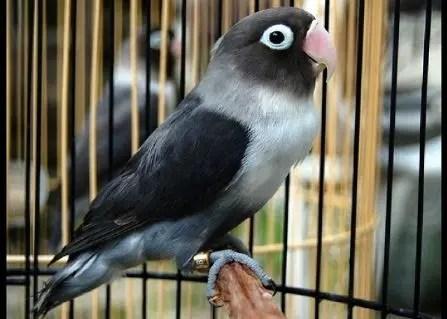 Lovebird Batman - 14 jENIS bURUNG lOVEBIRD
