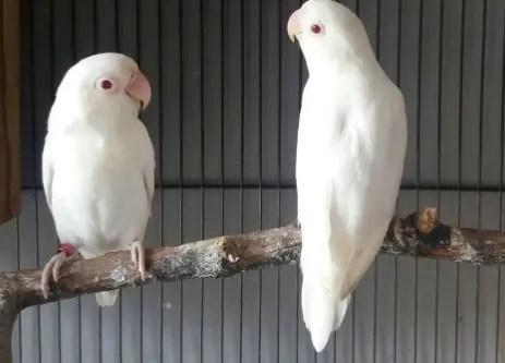lOVEBIRD aLBINO - Ragam Jenis Lovebird