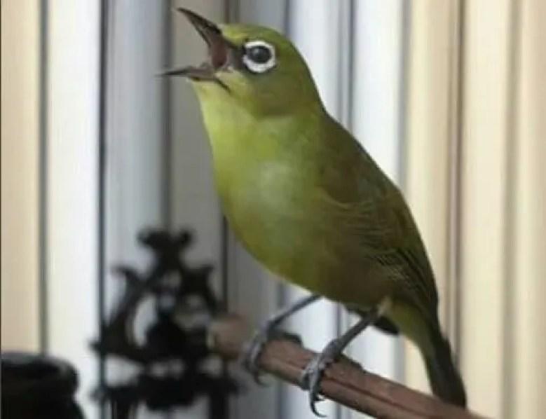 Burung Pleci Buka Paruh