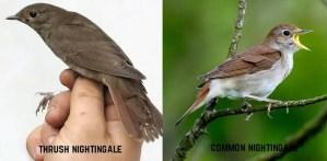 Burung common nightingale dan thrush nightingale