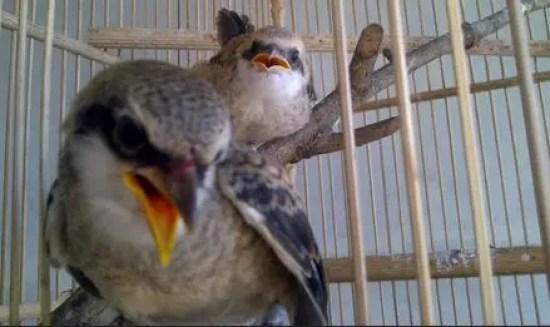 Trotol Burung Cendet