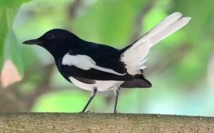 burung kacer poci