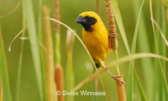burung manyar emas jantan