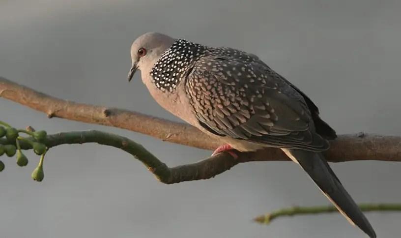 Gambar Burung Derkuku gacor