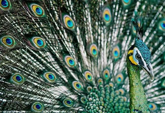 Gambar Burung Merak Hijau