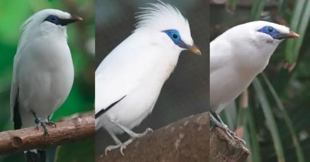 56 Gambar Burung Jalak Bali Kartun HD Terbaru