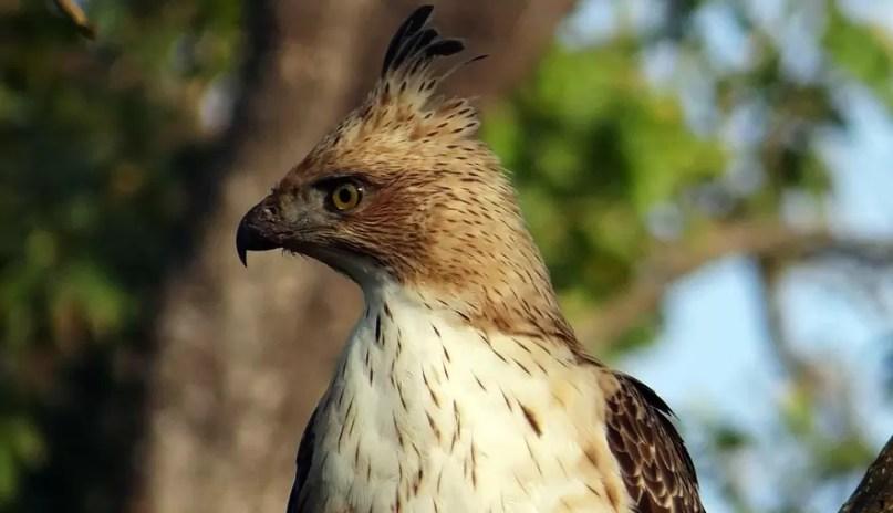 Gambar burung elang brontok