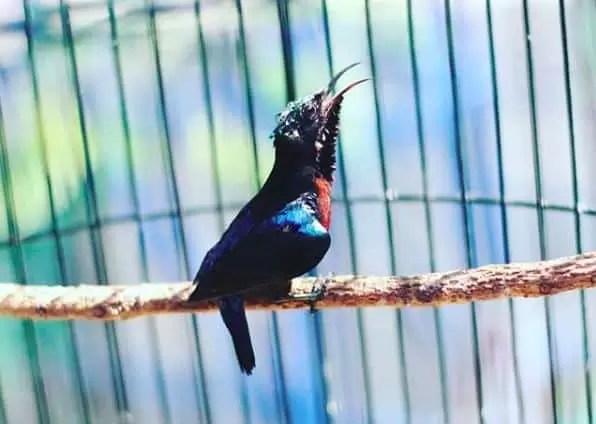 gambar kolibri ninja gacor