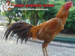 Tips-Merawat-Bulu-Ayam-Bangkok-Aduan-yang-Rusak-atau-Patah-min