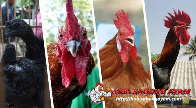 Inilah Empat Jenis Ayam Lokal Asli Indonesia yang Paling Mahal
