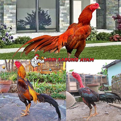 Ayam Aduan Terbaik di Arena Sabung Ayam Se-Asia