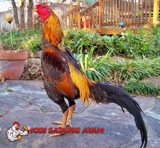 Ayam Aduan Yang Kuat