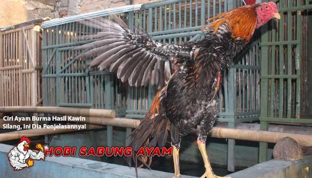 ciri ayam burma hasil kawin silang - sabung ayam online