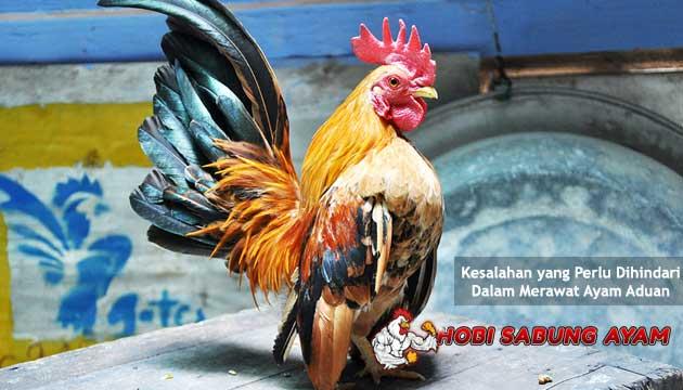 kesalahan yang perlu dihindari dalam merawat ayam aduan - sabung ayam online