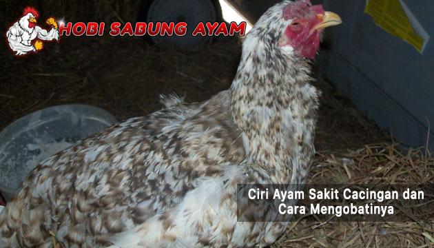 ciri ayam sakit cacingan - sabung ayam online