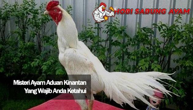 Misteri Ayam Aduan Kinantan Yang Wajib Anda Ketahui - Sabung Ayam Online