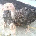 Ayam Kalkun Usia satu bulan lebih persiapan kirim ke Pekalongan