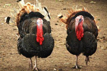 Ayam Kalkun